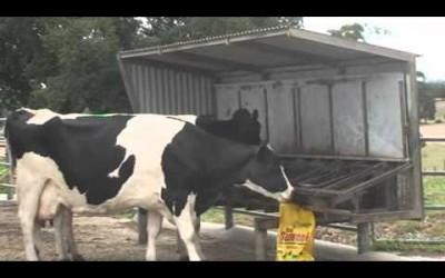 Cows Love Seaweed Meal!